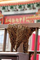 長崎新地中華街近くの遊歩道の手すりに群がるミツバチ=長崎市新地町