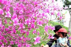 ミツバツツジをめでる親子=三木山総合公園