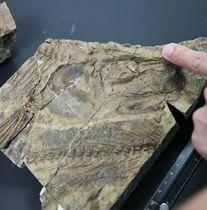 イクチオデクテス目の新種と判明した大型魚類の頭部の化石=21日、熊本県天草市