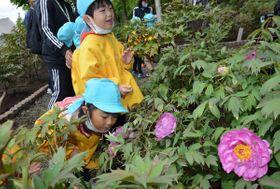 咲き始めたボタンの香りを楽しむ園児