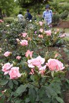 とっとり花回廊で咲き誇る皇室ゆかりのバラ「プリンセスアイコ」=18日、鳥取県南部町