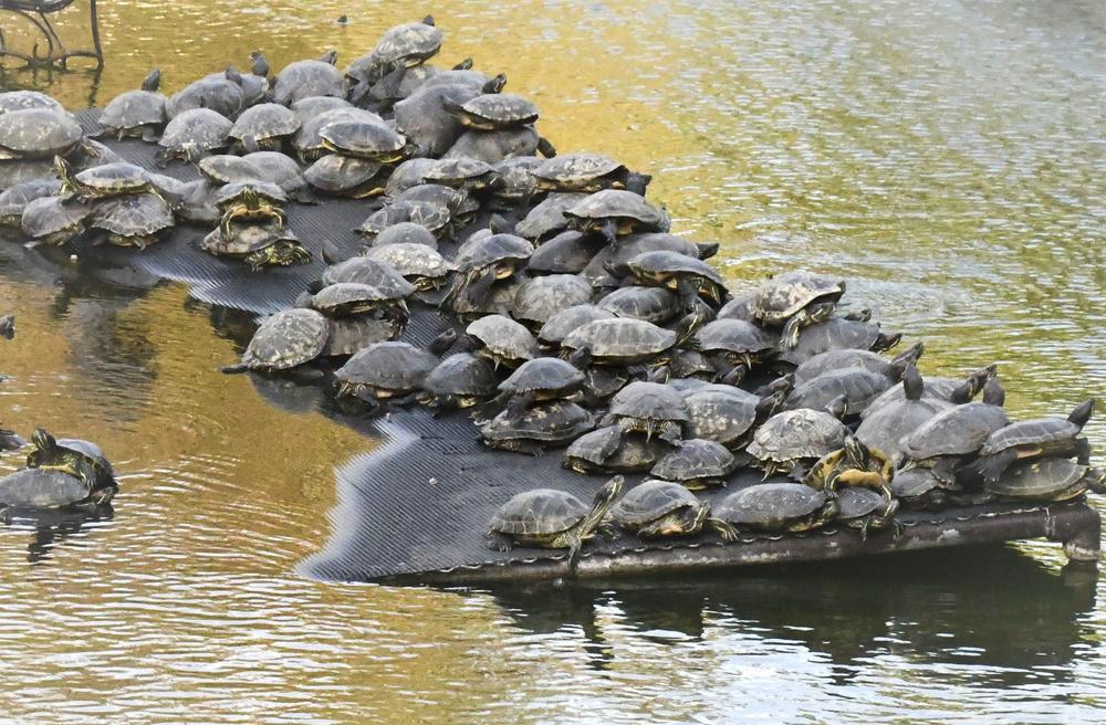 大きな人工池の陸地で重なり合うミシシッピアカミミガメ