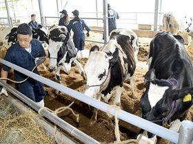 飯舘村の牛舎に乳牛を運び入れる従業員