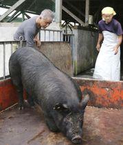 九州本島の養豚業者から譲渡された「島豚」の血を引く豚=4月、鹿児島県奄美市