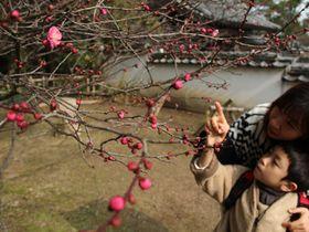 花が咲き始めた長府毛利邸の紅梅=19日、下関市