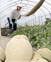 収穫されたメロン「イバラキング」と田山浩志さん=15日午前、茨城県鉾田市