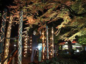 色づき始めたモミジがライトアップされ、幻想的な光を放つ竹あかりと共演する=土岐市土岐津町高山、穴弘法