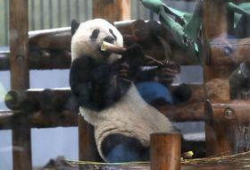 2歳の誕生日を前に公開されたジャイアントパンダのシャンシャン=10日、東京・上野動物園