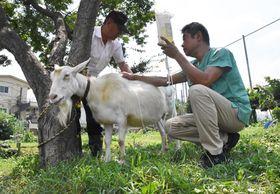 照りつける太陽の下、主治医から栄養補給の点滴を受けるヤギの「シロ」(長岡京市友岡1丁目・長岡第四小)