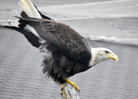 (514)アメリカの国鳥ってどんな鳥 ハクトウワシ