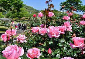 見ごろを迎えている錦江湾公園のバラ=鹿児島市平川町