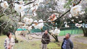 開花した白梅に見入る市民ら=20日午前、宮崎市・平和台公園