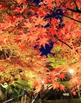 ライトアップされたモミジが境内を彩る=加東市平木、播州清水寺(撮影・笠原次郎)