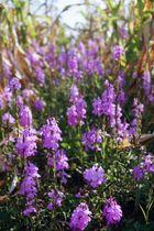開花した寄生植物ストライガ(名古屋大提供)
