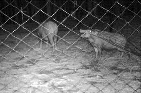 柵の側面を破りながら侵入するイノシシ