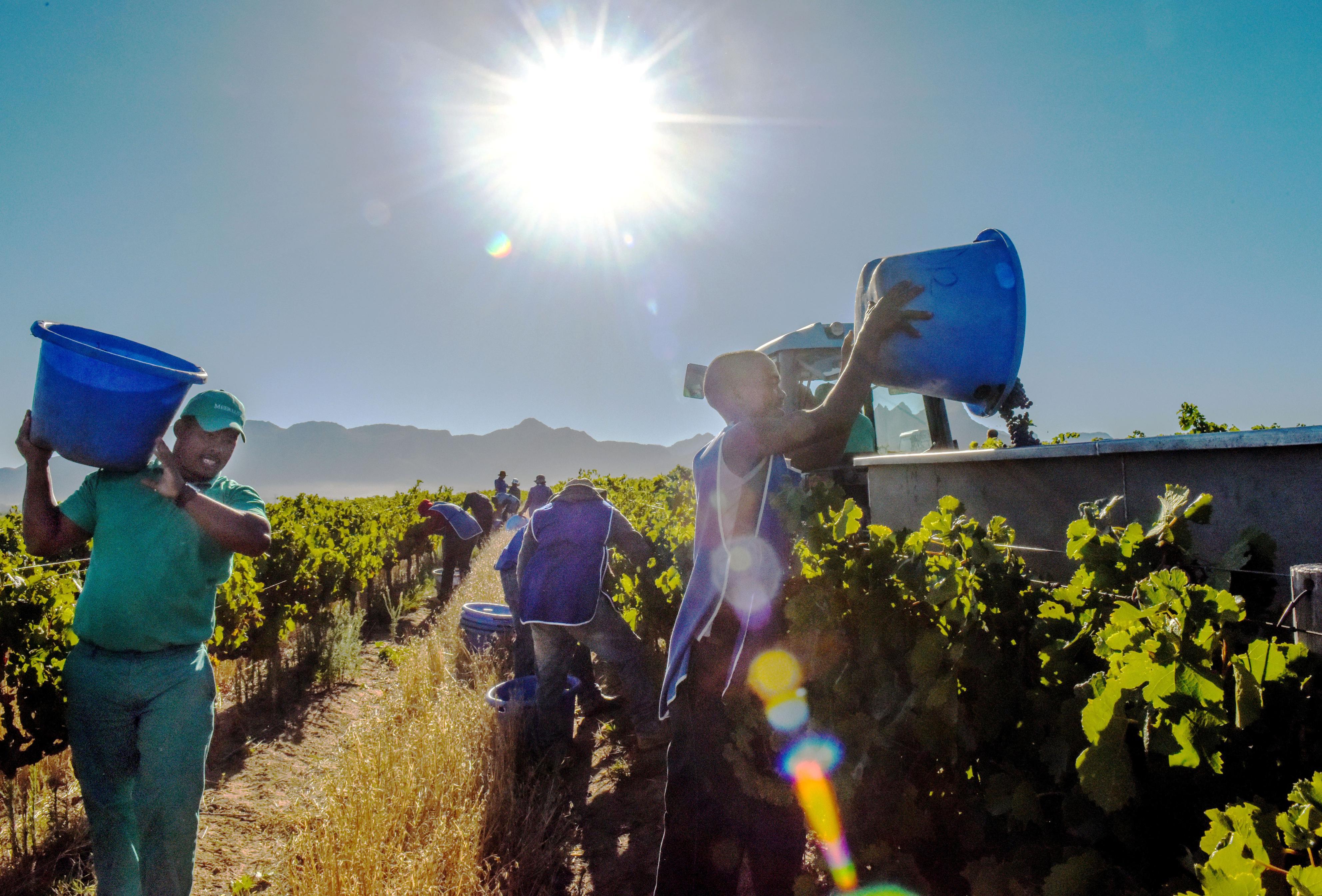 摘まれたワイン原料のブドウが次々にトレーラーの荷台に盛られていく=ステレンボッシュ