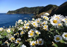 海を見下ろす斜面に咲き集うサツマノギクの花=薩摩川内市鹿島町吹切