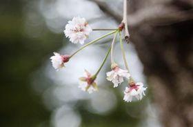 仙台市の仙台城跡で咲いた桜の花=16日午後