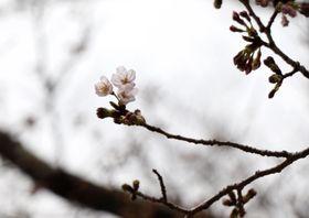 和歌山市の紀三井寺で開花した標本木のソメイヨシノ=25日午後