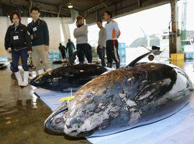 和歌山県那智勝浦町の勝浦地方卸売市場に水揚げされた308キロのクロマグロ(手前)=21日
