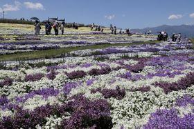 色とりどりの花が咲き誇る「北アルプスと花の丘」=23日、県松本平広域公園