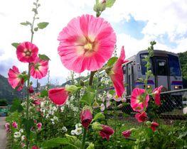 列車が走る福塩線のそばで花を咲かすタチアオイ(撮影・河合佑樹)