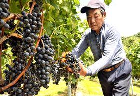 ワイン用ブドウの収穫に汗を流す橋本さん。このブドウを使った郡山産ワインが今冬にも販売される