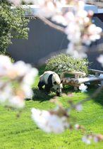 桜とジャイアントパンダの「永明」=24日、和歌山県白浜町