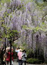 見ごろを迎え、境内を彩っているフジ=佐世保市、藤山神社