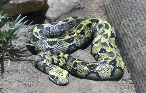 (551)毒ヘビの美しさ実感 1、2を争う人気 エチオピアアダー