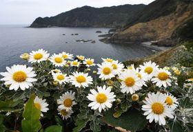 海を見下ろす丘でかれんな花を咲かせるサツマノギク=13日、薩摩川内市鹿島町吹切