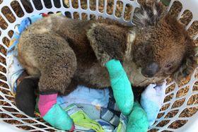 洗濯かごの中で休むけがをしたコアラ=8日、オーストラリア南部のカンガルー島(ゲッティ=共同)