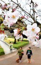 開花した県総合文化公園のソメイヨシノ=16日午後、宮崎市