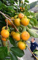 秋の気配が漂う山あいで、色付き始めた柿の実=伊佐市大口小木原