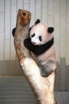 関係者にお披露目されたシャンシャン=18日午前、東京・上野動物園(代表撮影)