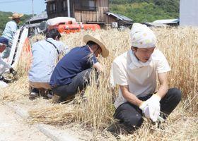 麦の刈り取りに取り組む中田さん(右端)=土庄町伊喜末