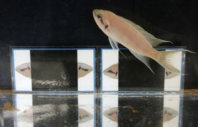 上下を逆さまにした魚の顔の画像(奥)とアフリカの淡水魚「プルチャー」=8日午後、大阪市