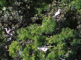 小笠原諸島の南硫黄島で営巣中のアカアシカツオドリ=6月(森林総合研究所の川上和人主任研究員提供)