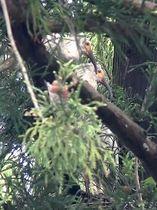 巣立ちが確認されたトキのひな2羽=25日午前8時20分ごろ、新潟県佐渡市(環境省提供)