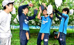 鈴木さん(左)の指導で、ブドウを収穫する(右から)田村、樋口、宇佐美の各選手
