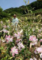 段々畑に咲き誇るカノコユリ=薩摩川内市里