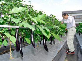 暑さが続き、樹勢が弱っているナス。農家は水や肥料などの管理に気を配っている=17日午後、松前町徳丸
