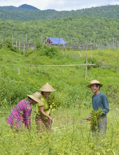 故郷ワンアウン村に戻り、村人たちとゴマの収穫をするサン・イェー(右)。ゴマは村の貴重な現金収入源となっている=19年8月、ミャンマー東部カヤ州(共同)
