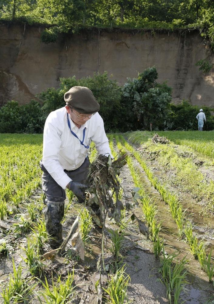 山形県鶴岡市の温海地区で、田んぼから木の枝を取り除く男性。後方の温海川沿いで土砂崩れがあり、せき止められた川からあふれた泥水が、流れ込んだ=20日午後
