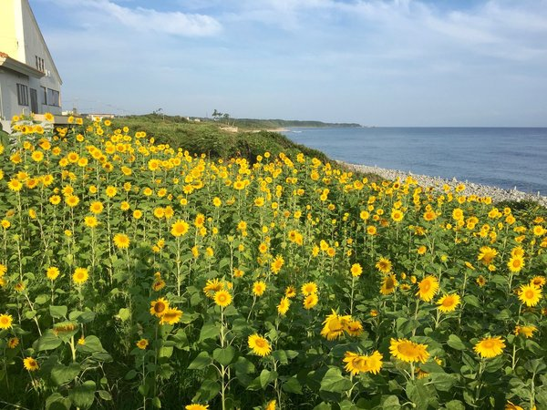 夏になると海と空の青をバックにヒマワリが開く