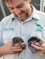 繁殖に成功し8月にふ化した2匹のハリモグラ=10月25日撮影(シドニー・タロンガ動物園提供、共同)
