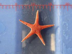 ヒトデ珍種、熊野灘で発見 日本近海初の確認