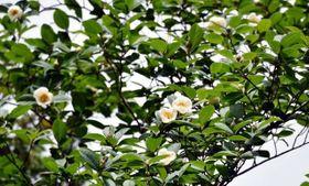 北の吉備路で咲き始めたナツツバキ
