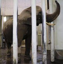 仙台市の八木山動物公園に到着した雌のアフリカゾウ「花子」=25日午後