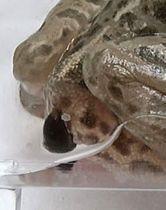 トノサマガエルのお尻の穴から脱出するマメガムシ(杉浦真治神戸大准教授提供)